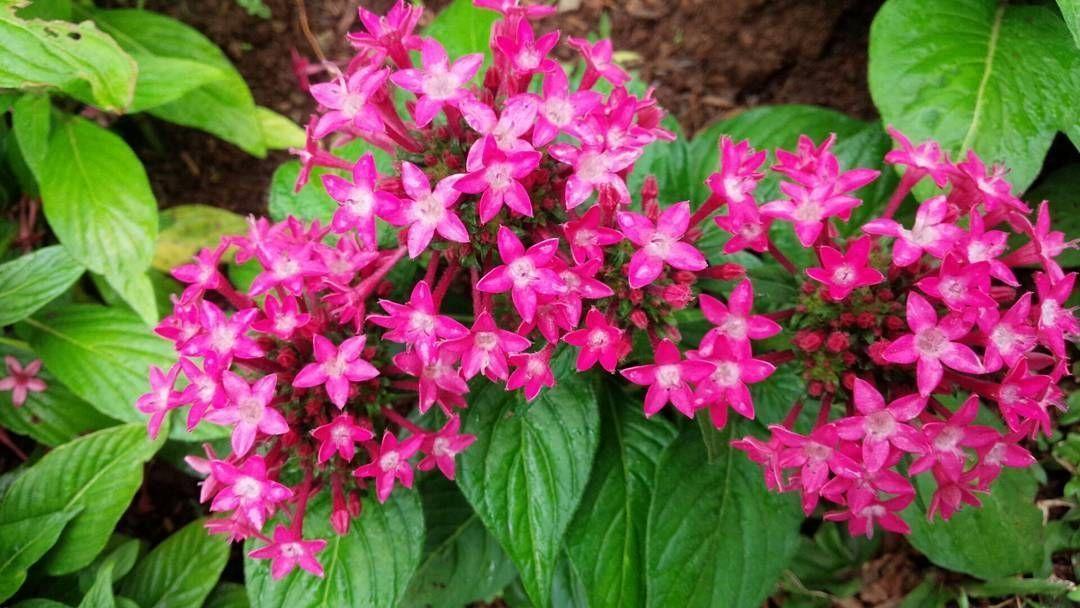 Tanaman_hias_outdoor_bunga_pentas