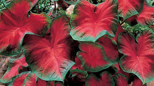 Ketahui Cara Menanam Caladium Merah agar Tumbuh Subur