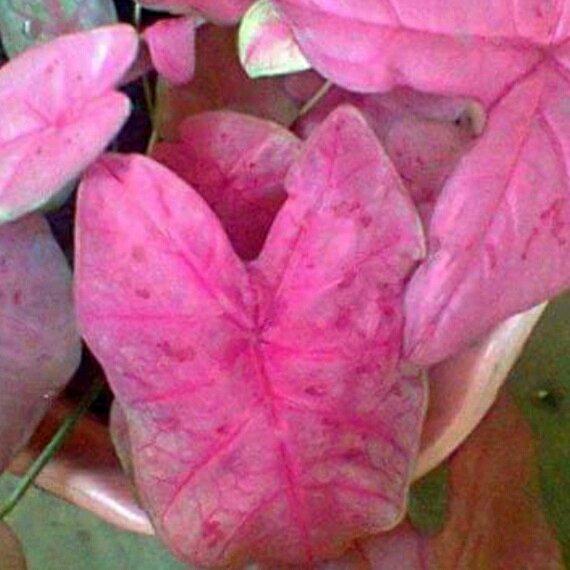 caladium_sexy_pink