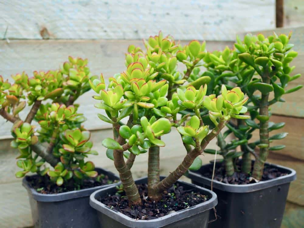 jade_plant