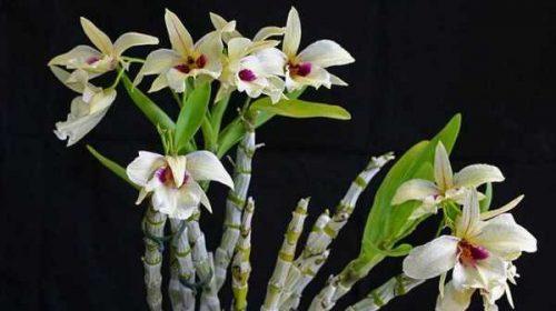 Sekilas Tentang Anggrek Dendrobium